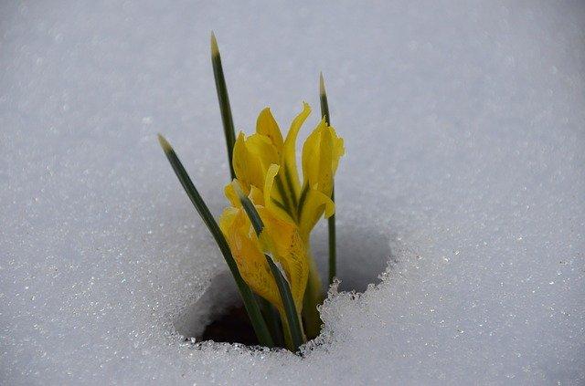 Frühblüher wächst aus dem Schnee